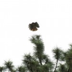 A red tail hawk in mid-take off from a ponderosa pine at the Running Y Ranch.
