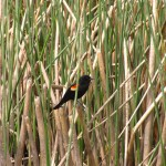A red winged blackbird sitting in reeds at the Running Y Ranch, near Klamath Falls, OR.