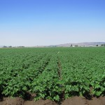 A recently irrigated chipping potato field near Malin, Oregon.