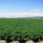A happily growing chipping potato field near Gold Dust Potato Processors' Malin, OR campus.