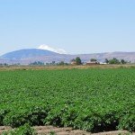A growing chipping potato field with Mt. Shasta in the background.