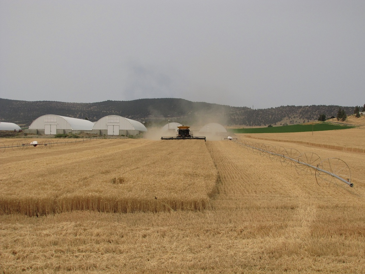 A Claas Lexion 750 combine cutting wheat at Gold Dust Potato Processors in Malin, Oregon.