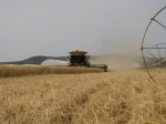 Class Lexion combine cutting grain in a wheat field in Malin, OR.