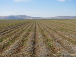 A potato field on the Tulelake National Wildlife Refuge that is ready for harvest.