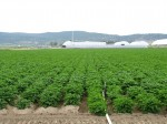 A chipping potato field at Gold Dust Potato Processors' Malin, Oregon, facility taken July 2nd, 2013.