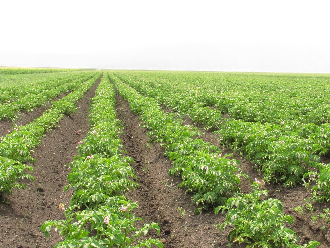 A field of organic potatoes growing on the Running Y Ranch near Klamath Falls, OR.