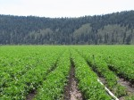 A chipping potato field at the Running Y Ranch near Klamath Falls, OR.