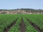 A chipping potato field on the Running Y Ranch near Klamath Falls, OR.