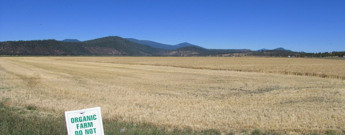 An organic wheat field on the Running Y Ranch near Klamath Falls, OR, needs to finish ripening.